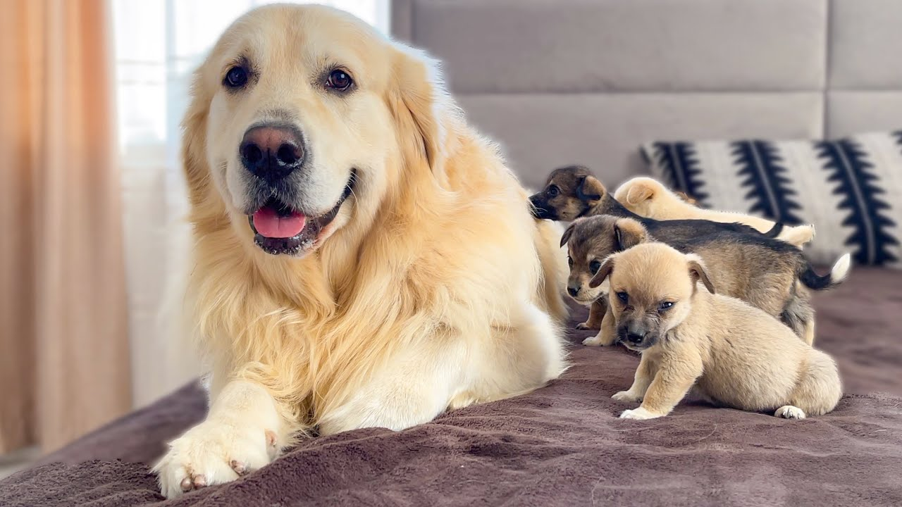Puppies need the love of a Golden Retriever