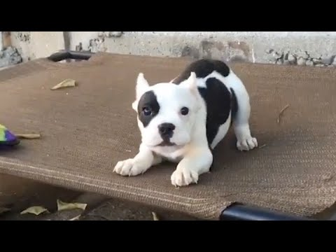 Rescue Tiny Puppy Was Abandoned With Foster But So Adorable And Active